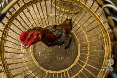 Rooster in the cage.